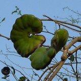 Elephant-ear Tree (Enterolobium cyclocarpum)_
