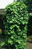 Dutchman's Pipe (Aristolochia macrophylla)_