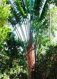 Red Traveller's Palm (Ravenala sp. 'Honkondambo')_