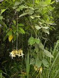 Black Hamburger Bean (Mucuna holtonii)_