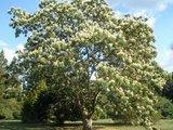Kalkora Silk Tree (Albizia kalkora)_
