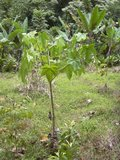Kukui (Aleurites moluccana)_