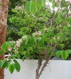 Pink Bauhinia (Bauhinia monandra)_