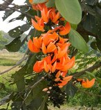 Flame of the Forest (Butea monosperma)_