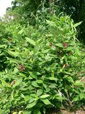 Spice Bush (Calycanthus floridus)_