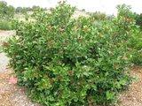 Western Spice Bush (Calycanthus occidentalis)_