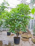 Cannonball Tree (Couroupita guianensis)_