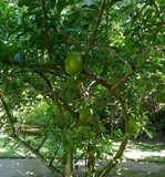 Calabash Tree (Crescentia cujete)_