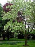 Dove Tree (Davidia involucrata)_