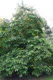 American Persimmon (Diospyros virginiana)_