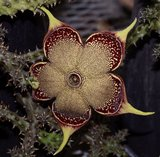 Persian Carpet Flower (Edithcolea grandis)_