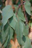 Alpine Ash (Eucalyptus delegatensis)_