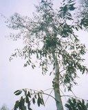 Tasmanian Yellow Gum (Eucalyptus johnstonii)_