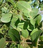 Omea Gum (Eucalyptus neglecta)_