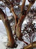 Snow Gum (Eucalyptus pauciflora ssp. pauciflora)_