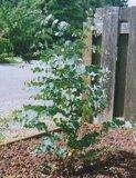 Candlebark Gum (Eucalyptus rubida)_