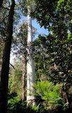 Manna Gum (Eucalyptus viminalis)_