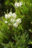Tea Tree (Melaleuca alternifolia)_