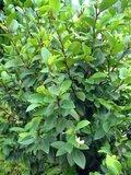 Banana Shrub (Magnolia figo)_