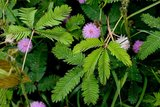 Touch-me-not Plant (Mimosa pudica)_