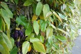 Velvet Bean (Mucuna sempervirens)_