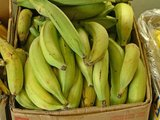 Plantain Banana (Musa x paradisiaca)_