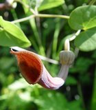 Andalusian Dutchman's Pipe (Aristolochia baetica)_
