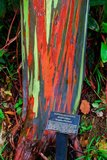 Rainbow Eucalyptus (Eucalyptus deglupta)_