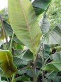 Helens Banana (Musa sp. 'Helens Hybrid')_