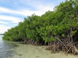 Red Mangrove (Rhizophora mangle)_