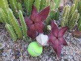 Giant Carrion Flower (Stapelia grandiflora)_