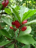 Miracle Fruit (Synsepalum dulcificum)_