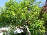 Yellow Oleander (Thevetia peruviana)_