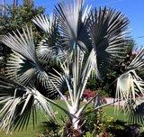 Bismarck Palm (Bismarckia nobilis)_