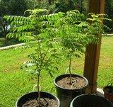 Curry Tree (Murraya koenigii)_