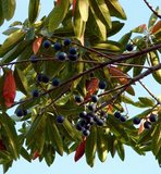 Blue Quandong (Elaeocarpus angustifolius)_