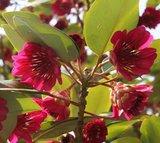 Hong Kong Rose (Rhodoleia championii)_