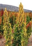 Quinoa (Chenopodium quinoa)_