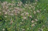 Prairie Smoke (Geum triflorum)_