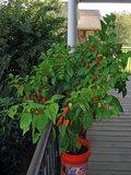 Bhut Jolokia (Capsicum chinense 'Bhut Jolokia')_