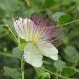 Caper Bush (Capparis spinosa)_