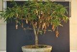 Tamarind (Tamarindus indica)_