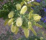 Screwbean Mesquite (Prosopis pubescens)_