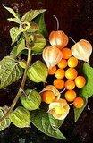 Cape Gooseberry (Physalis peruviana)_