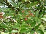 Japanese Pepper (Zanthoxylum piperitum)_