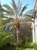 Date Palm (Phoenix dactylifera)_