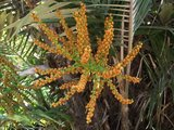 Dwarf Sugar Palm (Arenga engleri)_