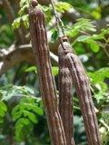 Moringa Tree (Moringa oleifera)_