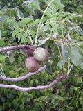 Marula (Sclerocarya birrea ssp. caffra)_