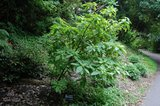Golden Fuchsia (Deppea splendens)_